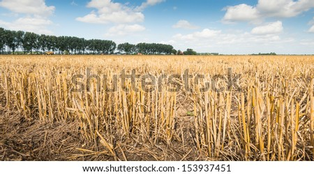 Closeup of long yellow grain stubble in a sunny rural landscape