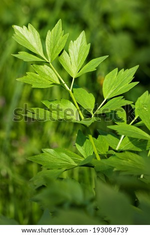 Closeup of lovage  in the garden - stock photo