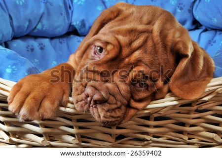 Closeup of Lovely Puppy lying in cot with thick paw - stock photo