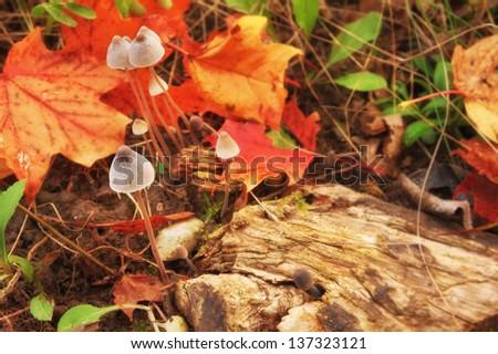 closeup of magic mushrooms on a fall forest floor - stock photo