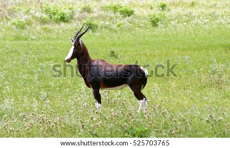 Closeup of magnificent Bontebok Antelope standing in grassland