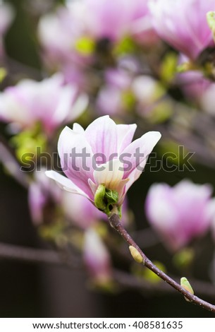 Closeup of Magnolia Flower at Blossom in Spring - stock photo