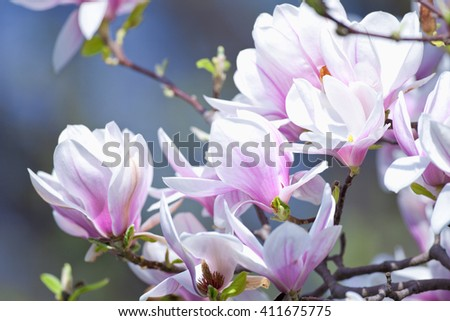 Closeup of Magnolia Flower at Blossom in Spring