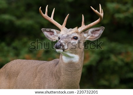Closeup of majestic whitetail deer buck framed by dense forest.