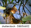 Closeup of male and female Painted box turtles resting on reeds and lily pad stems in crystal clear water.  one reptile facing left the other facing right. Fun, humorous expressions on their faces. - stock photo