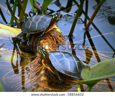 how to tell male painted turtles from female