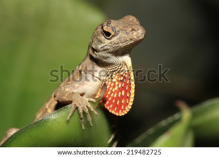 Closeup of Male Brown Anole with Extended Orange Throat Fan - stock photo