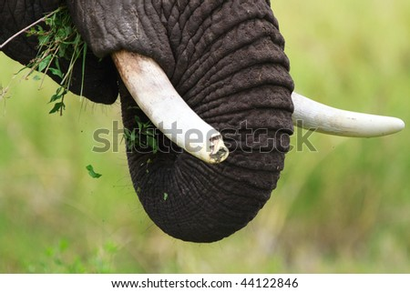 Closeup of male elephant with broken tusk. Serengeti national park, Tanzania