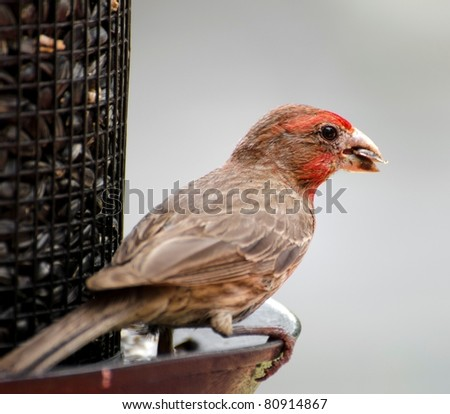 Closeup of Male House Finch