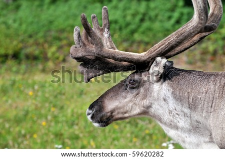 Closeup of male reindeer head in Lapland, Scandinavia - stock photo