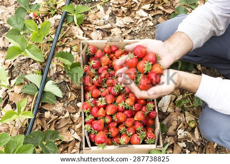 Closeup of  man hands full of ripe strawberries on the field - stock photo