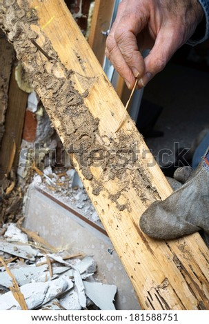 Closeup of man's hand pointing out termite damage and a live termite. - stock photo
