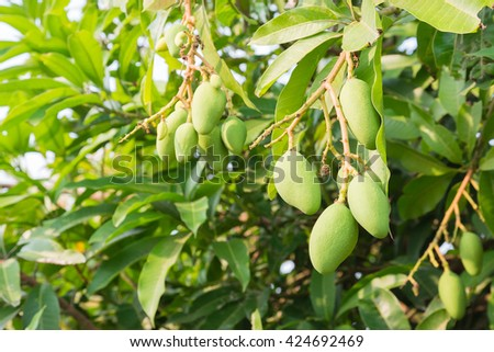 Closeup of Mangoes hanging,mango field,mango farm. Agricultural concept,Agricultural industry concept.
