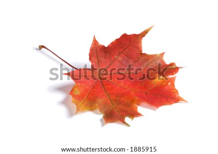 Closeup of maple autumn leaf on white background with light shadow - stock photo