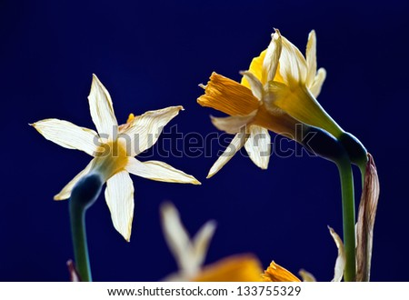 Closeup of marcescent narcissus - stock photo