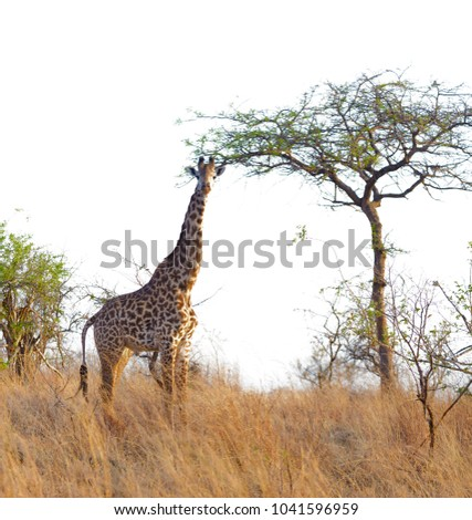 "Closeup of Masai Giraffe (scientific name: Giraffa camelopardalis tippelskirchi or ""Twiga"" in Swaheli) n the Serengeti/Tarangire, Lake Manyara, Ngorogoro National park,Tanzania"