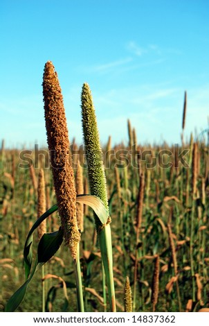 Closeup of millet ears on a field - stock photo