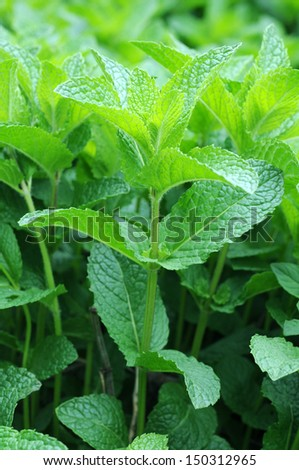 closeup of mint trees in garden  - stock photo