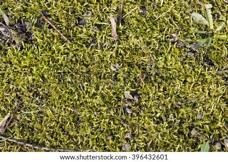 Closeup of moss - stock photo