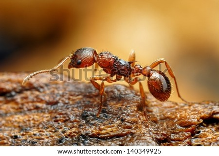 Closeup of myrmica ant - stock photo