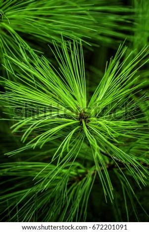 closeup needles on eastern white pine stock photo royalty free