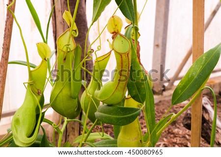 closeup of nepenthes. - stock photo