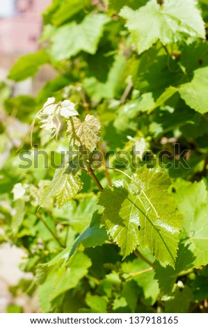 Closeup of new grape vine in the spring time - stock photo