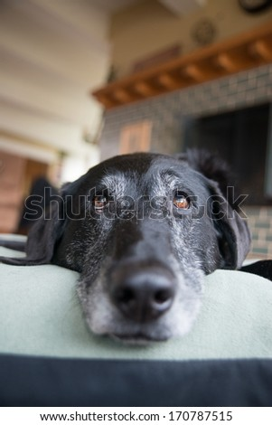 Closeup of Old Black Dog with Gray Muzzle Relaxing at Home - stock photo