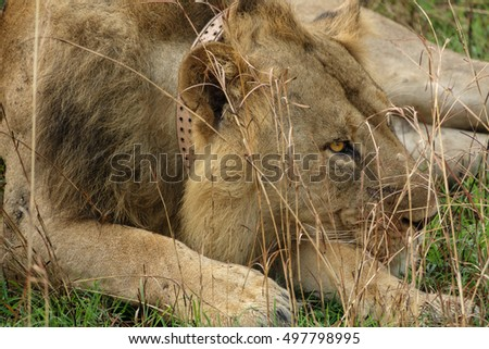 Closeup of old male lion with scars and collar for conservation lying down looking to the right side