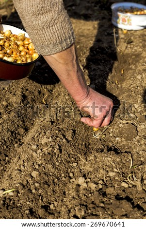 Closeup of old woman hands planting shallot - stock photo