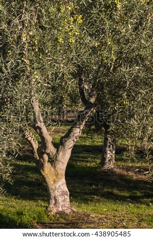closeup of olive tree in olive grove - stock photo