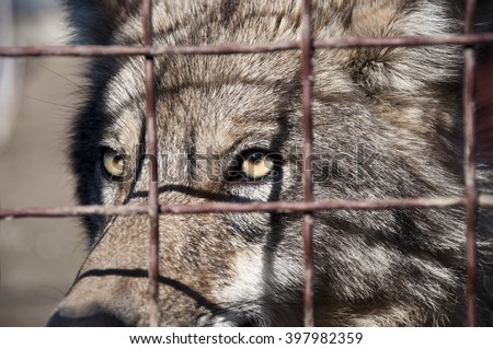 Closeup of one attentive wild animal of beautiful grey wolf with yellow eyes looking from wire netting sunny day outdoor - stock photo