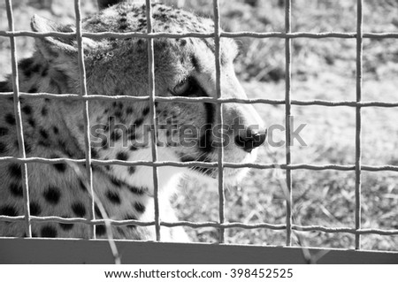 Closeup of one beautiful sorrowful wild african fast animal of cheetah with spotted soft fur lying behind wire netting sunny day outdoor in zoo, black and white - stock photo