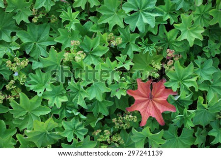 Closeup of one red lady's mantle (alchemilla) leaf among many green ones. Photographed at Blomsoy, Helgeland coast, Norway.  - stock photo