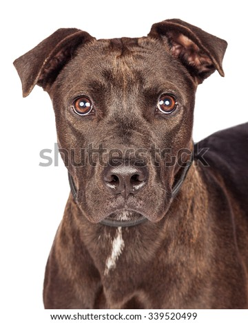 Closeup of one year old dark brown color Labrador Retriever and Pit Bull mixed breed dog over white - stock photo