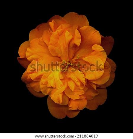 closeup of orange camellia flower on black background - stock photo