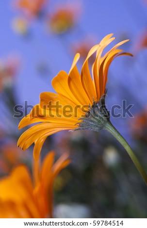 Closeup of orange Namaqualand Daisy from side - stock photo