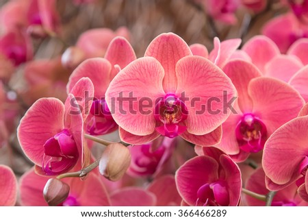 Closeup of  orchid phalaenopsis. Bouquet of flowers orchids - stock photo