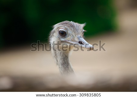 Closeup of ostrich head (Shallow DOF). - stock photo