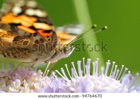 Closeup of Painted Lady Butterfly - stock photo