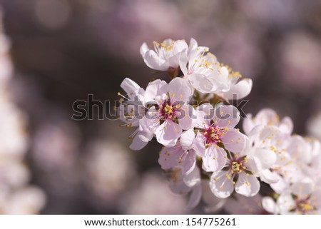 Closeup of pale pink spring blossom - stock photo