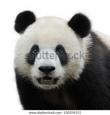 Closeup of panda bear isolated on white background - stock photo