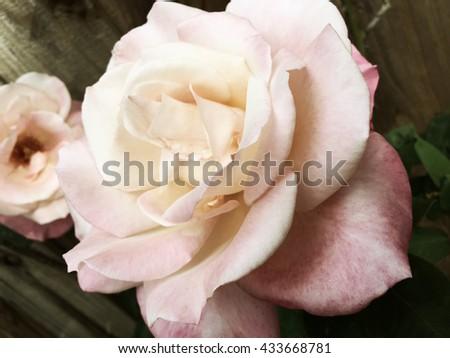Closeup of pastel pink rose in spring - stock photo