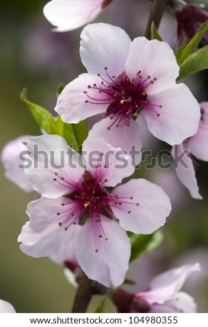 Closeup of peach blossoms flower in Spring orchard.