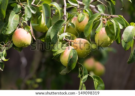 Closeup of pear on a branch in an orchard - stock photo