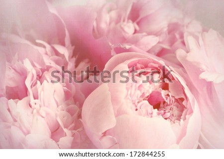 Closeup of peony flowers  - stock photo