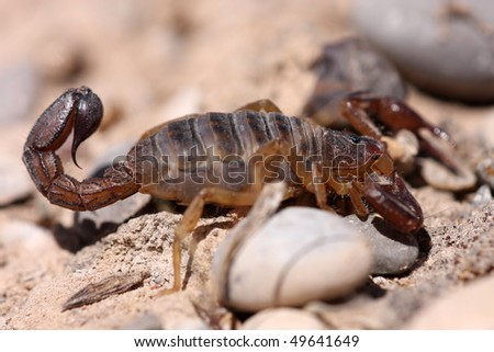 Closeup of peruvian scorpion from Andes - stock photo