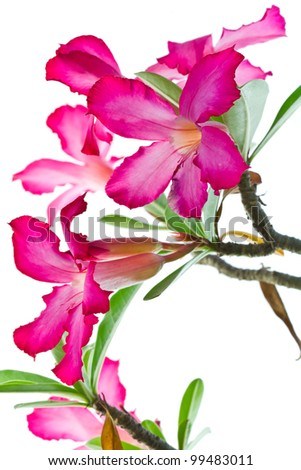 Closeup of Pink Bigononia or Desert Rose (tropical flower) on white background - stock photo