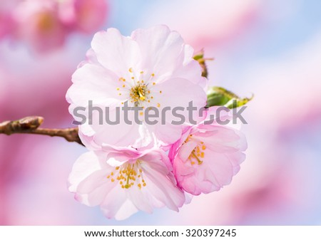 Closeup of pink cherry blossoms - stock photo