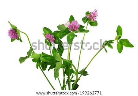 Closeup of pink clover flower isolated on white  - stock photo